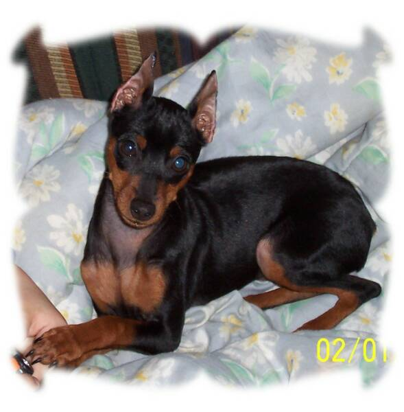 Teacup Min Pin Puppies For